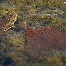 Frog In The Water by Diego Re