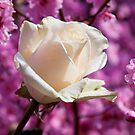 White rose and plum blossoms by Garry Gay