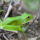 White Lipped Green Tree Frog, Mission Beach, FNQ by Susan Kelly