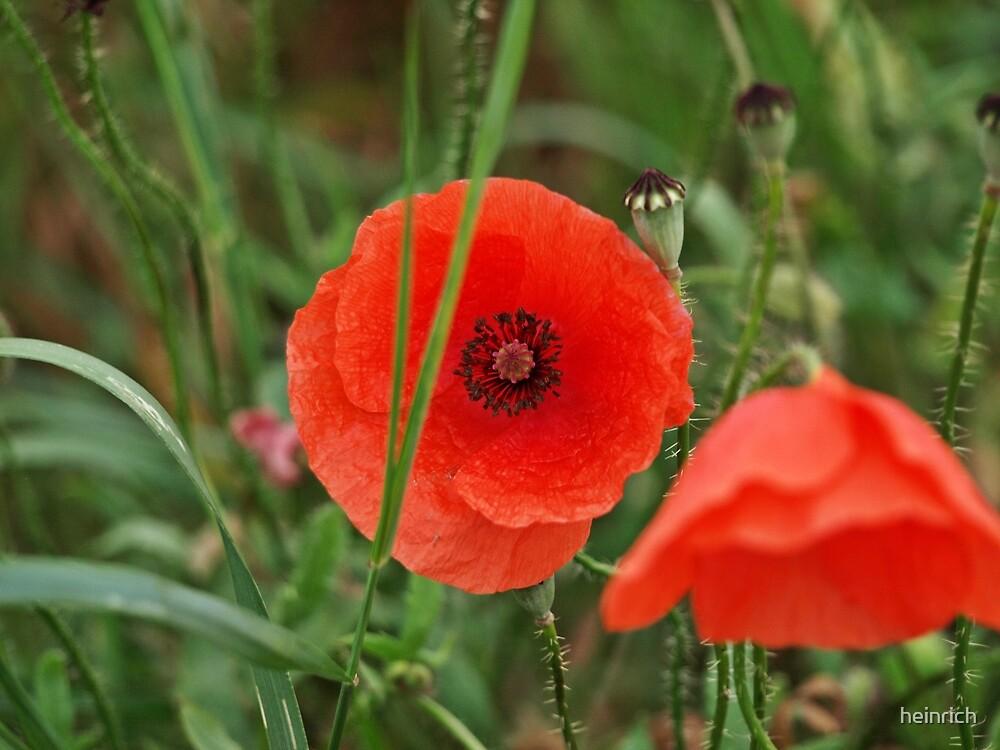 Poppies by heinrich