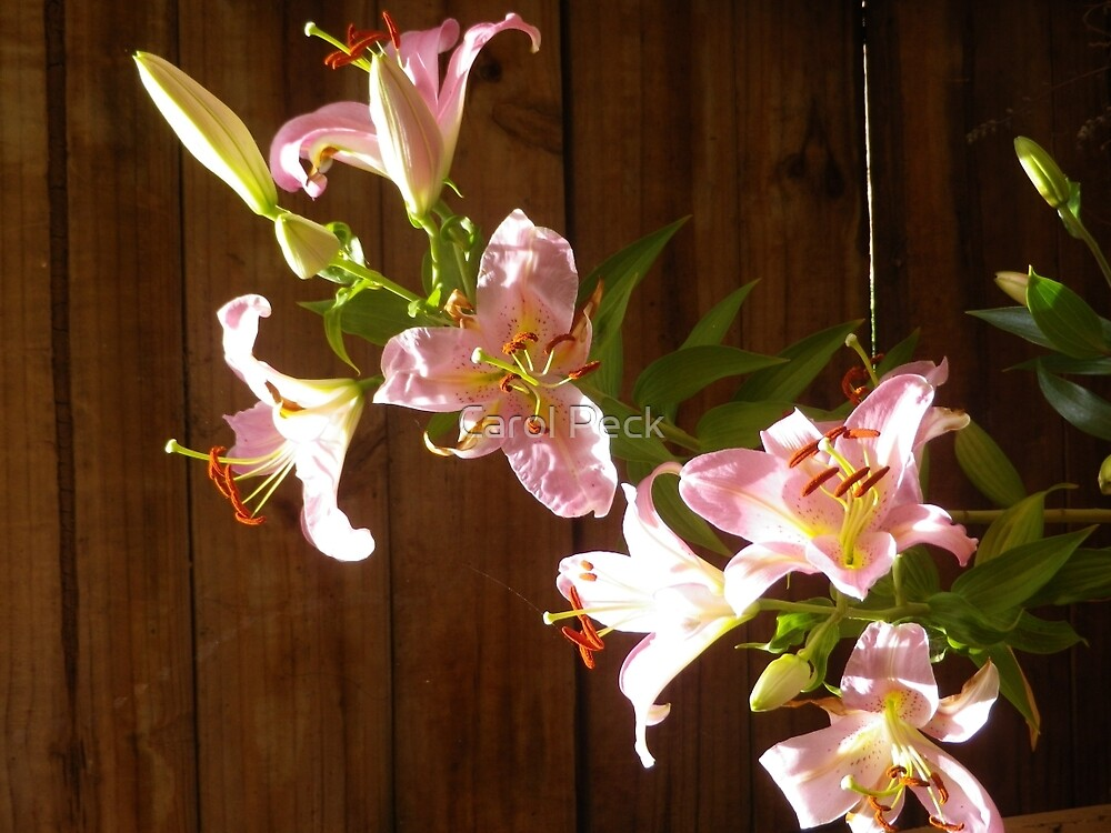 Pink Lilliums in the shade by Carol Peck