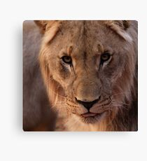 """""""he is not a tame lion"""" Canvas Print"""