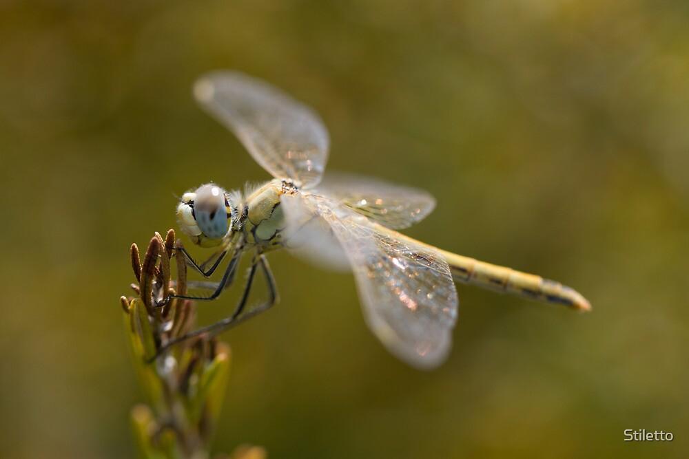 Dragonfly THi by Stiletto
