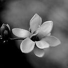 Magnolia.....  by DaveHrusecky