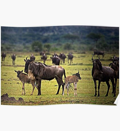 Wildebeest with Calves Poster
