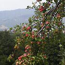LE MELE  IN MONTAGNA .....località Noveglia / ITALIA/ 1500 visual.ottobre 2015- VETRINA RB EXPLORE 30 GIUGNO 2013  --- --- by Guendalyn