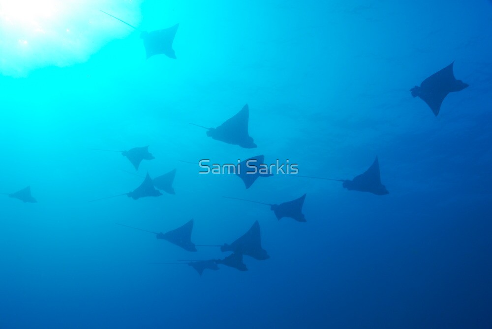 Large group of Spotted Eagle rays (Aetobatus narinari) swimming by Sami Sarkis