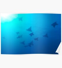 Large group of Spotted Eagle rays (Aetobatus narinari) swimming Poster