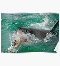 Great White Shark (Carcharodon carcharias) breaking waters surface, Gansbaii, Dyer Island, South Africa Poster