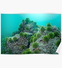 Green Sea Urchin (Lytechinus semituberculatus) on rock, underwater view, Isla San Cristobal, Ecuador, Galapagos Archipelago, Poster