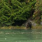 Grizzly Bear, Knight Inlet by SusanAdey