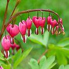 Bleeding Heart flower (Dicentra spectabilis) by Ivo Velinov
