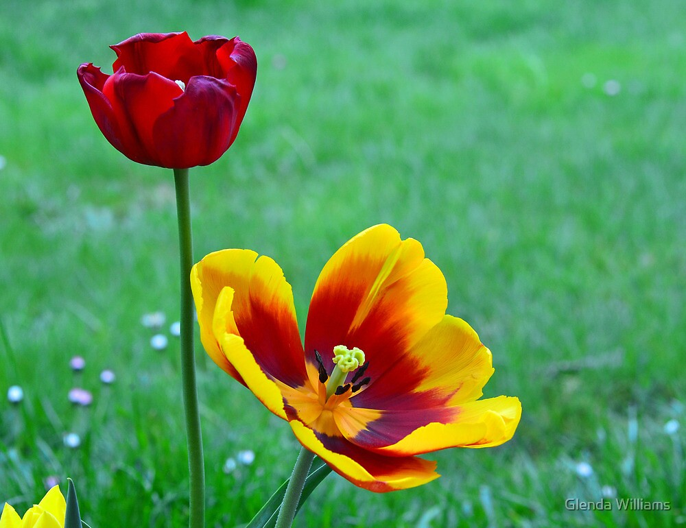 Two Tulips by Glenda Williams