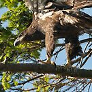 Young Eagle Ventures from the Nest by David Friederich