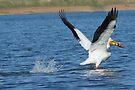 Pelican In Flight by Betsy  Seeton