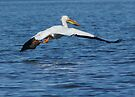 Pelican  by Betsy  Seeton