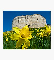 Daffodils by Clifford's Tower, York Photographic Print