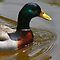 Four Letter Word DUCK