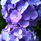 Blue Hydrangea iPhone Case by Betty Mackey