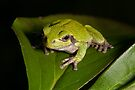 Green Tree Frog 2 by JimGuy