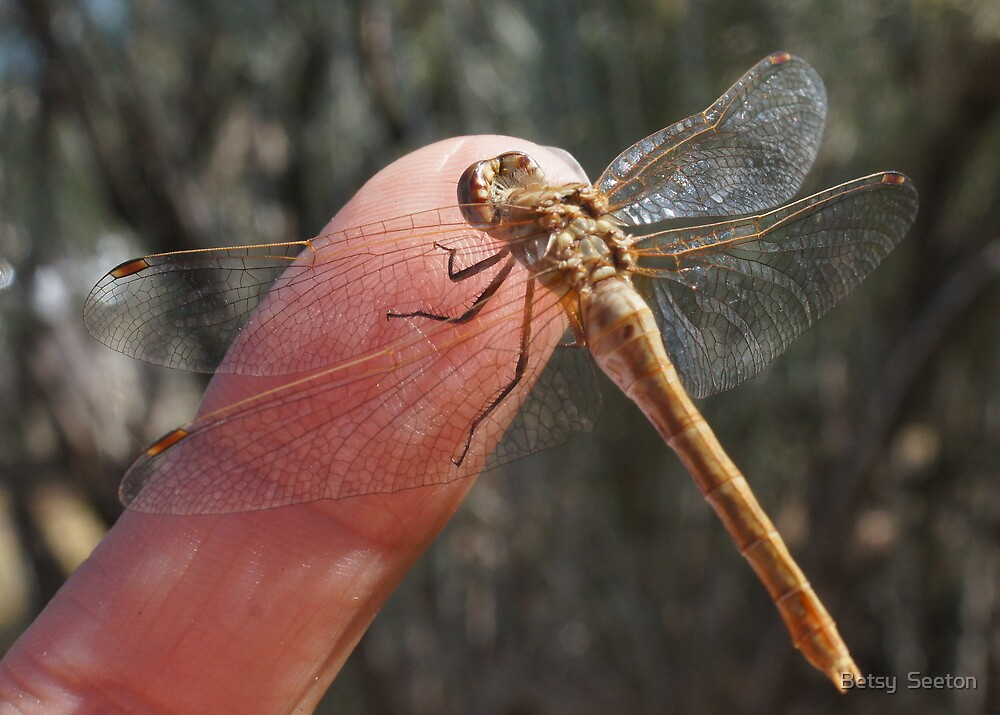 Dragonfly by Betsy  Seeton