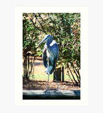 Great Blue Heron Standing Tall Art Print