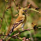 American Goldfinch by NewfieKeith