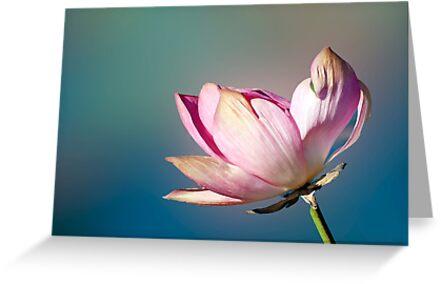 Lotus Flower by Jenny Dean