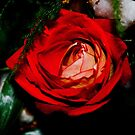 Red rose by MarekM