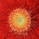 Gerbera by Marie Brown ©