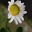 Morning Dew Daisy Smile by DIANE KLEVECKA