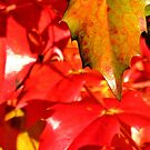 Red Leaves by Susan Dailey
