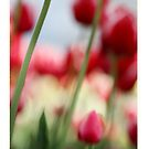 SOFT FLOWERS TULIPS by Toni  Fuller