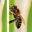 European Honey Bee  by Toni  Fuller