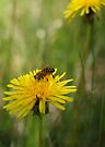 Dandelions and Bees by Betsy  Seeton