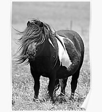 Shetland Pony mare in Black and White Poster