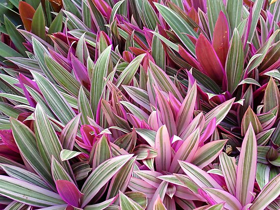 Image result for Rhoeo Spathacea