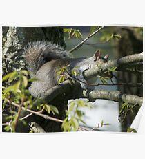 Sleepy Squirrel Poster