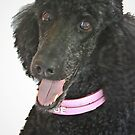"""""""I Am Not A Standard Poodle, I am A Special Poodle!!""""  by Heather Friedman"""