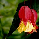 Red and Yellow Bells - Abutilon Flowers by Douglas E.  Welch