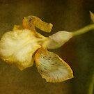 Yellow Iris by Margi