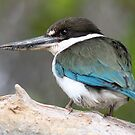collared kingfisher 2 by birdpics