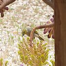 'I CAN SEE YOU!' White plumed Honeyeater through glass.. by Rita Blom