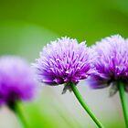 Glorious purple by cj1970