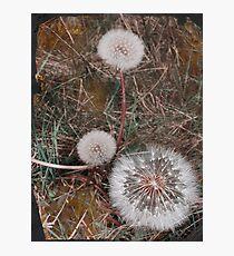 Dandelion trio, Instow beach Photographic Print