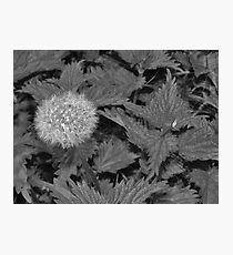 Dandelion spider, Instow beach Photographic Print