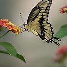 iphone butterfly by TxGimGim
