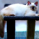 Molly, ragdoll kitten 5 months old. by ronsphotos
