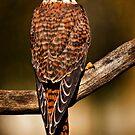 Kestrel Falcon by Sue Ratcliffe