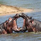 Smooching hippo style!! by Anthony Goldman